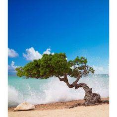 Divi Divi Tree Eagle Beach Aruba Caribbean Canvas Art - Paul Thompson DanitaDelimont (22 x 25)