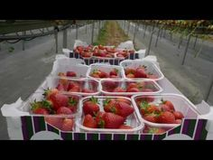 Hugh Lowe Farms - the home of the Wimbledon strawberry Wimbledon Strawberries And Cream, Great British, British Country, Farms, Lowes, Garden Design, Strawberry, Facebook, Fruit