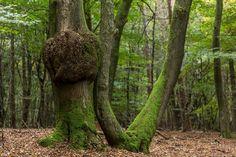 Knotsgekke vormen hebben de bomen soms in het Speulderbos.   #willemlaros #photography #travelphotography #traveller #canon #canonnederland #fotocursus #fotoreis #travelblog #reizen #reisjournalist #panasonic #compositie #travelwriter #vubreda #fotoworkshop #reisfotografie #landschapsfotografie #cameranu #flickr #fbp