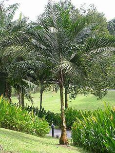 Syagrus amara - Palmpedia - Palm Grower's Guide