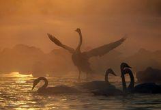 Озеро Лебединое – #Россия #Алтайский_край (#RU_ALT) Пара фактов о лебедях. Во-первых, не смотря на благородный внешний вид, эти птицы хрюкают совершенно бессовестным образом. Во-вторых, хлеб, которым их многие пытаются накормить, лебедям не то что не полезен, но и даже вреден. И да, это озеро в Алтайском крае, где лебеди ежегодно зимуют. http://ru.esosedi.org/RU/ALT/1000171929/ozero_lebedinoe/