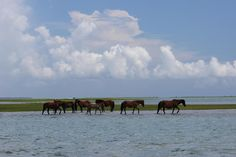 The ponies on Shackelford Banks . . . I loved being blessed with the opportunity to live in Carteret County, NC . . . What a beautiful place.