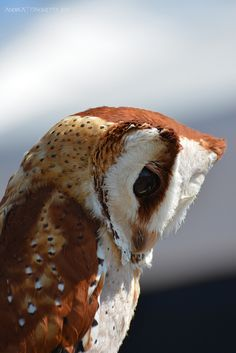 The Oriental Bay Owl (Phodilus badius) is a type of bay owl, usually classified with barn owls. It is completely nocturnal, and can be found throughout Southeast Asia.