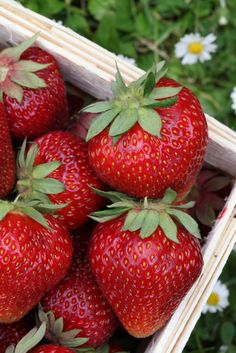 A strawberry patch in the garden or even a few plants in containers can give you plenty of fruit to go straight from the plants to the table. Growing strawberry plants is not hard at Strawberry Garden, Strawberry Patch, Strawberry Plants, Strawberry Fields, Strawberry Recipes, Grow Strawberries, Strawberry Picking, Raspberries, Fruit Garden