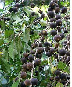 Nispero fruit trees.