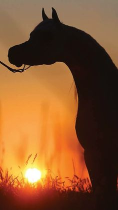 Silhouette of Arabian horse's beautiful face against the setting sun. Beautiful golden sunset!