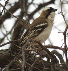 Bird Photos, Birding Sites, Bird Information: WHITE-BROWED SPARROW-WEAVER, HUANGE NATIONAL PARK,...