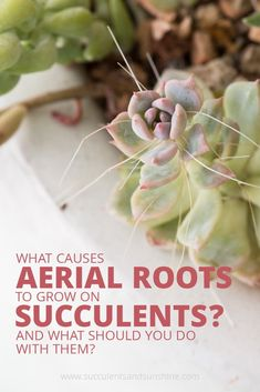 aerial roots on succulents normal? I wondered what these were! This post explains everything you need to know about aerial roots on succulentsI wondered what these were! This post explains everything you need to know about aerial roots on succulents