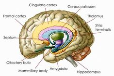 Brain diagram amygdala health medicine and anatomy reference acetyl l carnitine protects brain cells from damaging effects of chronic stress and anxiety in ccuart Gallery