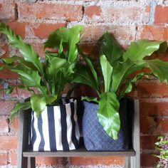 Cachepôs de tecido com asplênios. Essa folhagem vai super bem dentro de casa! Ideal para luminosidade indireta, aquela que não bate sol diretamente na planta.  #asplenio #plants #plantas #plantshop #curitiba #borealisplantas