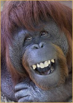 """toupee wearing monkey  [Orangutan]  """"Remembering Clyde"""" the long time patriarch at the San Diego Zoo, He was sent to Kansas."""