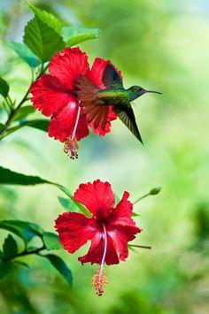 Rufous-tailed Hummingbird on hibiscus
