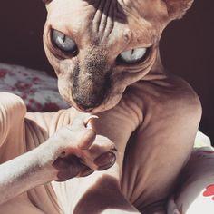 hairless sphynx cat