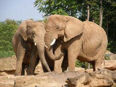 http://faaxaal.forumgratuit.ca/t1712-photos-de-mammiferes-elephant-de-savane-d-afrique-loxodonta-africana-african-bush-elephant  Photos gratuites et libres de droits de mammifères : Eléphant de savane d'Afrique - Loxodonta africana - African bush elephant    Faune d'Afrique - Mammifères africains - Animaux de la savane - Photo d'élephant dans le Domaine Public