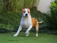 Surprising Pit Bull Terrier Dog Training Lessons From An Expert Ideas Amstaff Terrier, Bull Terrier Dog, Beautiful Dogs, Animals Beautiful, American Staffordshire Bull Terrier, American Pitbull, Dog Life, I Love Dogs, Pets