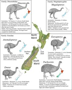 Systematics, dimensions, and approximate distributions of moa (Aves: Dinornithiformes) in the three family, six genera and nine species that dominated the New Zealand (NZ) ecosystem until their extinction years ago. Extinct Birds, Extinct Animals, Prehistoric Creatures, Science And Nature, Life Science, Prehistory, Fauna, Zoology, Mammals