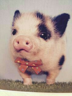 Cute baby animals, cute baby pigs, animals and pets, funny animals, cute Cute Little Animals, Little Pigs, Cute Funny Animals, Super Cute Animals, Cute Little Things, Cute Pigs, Funny Pigs, Fun Funny, Tier Fotos