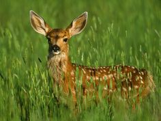 Image detail for -Deer | Wildlife Info-Facts and Photos | The Wildlife