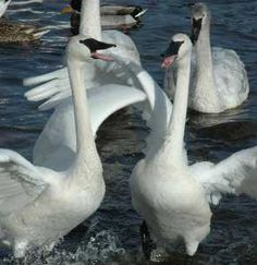 Click through for the sound of the trumpeter swans and info from The Trumpeter Swan Society / THE TRUMPET OF THE SWAN / Get more fun, hands-on ways to make great books MEMORABLE, and MEANINGFUL at  http://www.litwitsworkshops.com