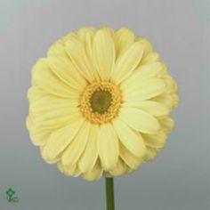 Gerbera Vamos is a pretty Yellow cut flower. It is approx. 45cm.