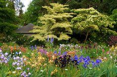Schriener's Iris Garden with Cornus   Flickr - Photo Sharing!