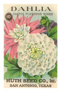 Dahlia Seed Packet Premium Poster