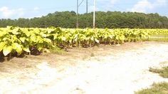 Priming tobacco for the 2nd time