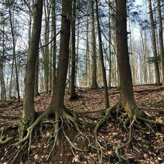 #treehugger #walkabout #naturerules #ilovepa #pennsylvania #theforestthroughthetrees