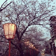 Sakura in Gion (Geisha district)
