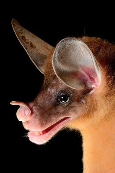 Spectral Bat (Vampyrum spectrum) The species is listed as Near Threatened due to its dependence on primary forest habitat and is rare and dispersed anywhere it is found, making it extremely...