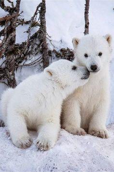 Polar bear cubs (by Chris Prestegard) / Animal Lover on imgfave Cute Baby Animals, Animals And Pets, Funny Animals, Wild Animals, Baby Polar Bears, Polar Cub, Love Bear, Bear Cubs, Grizzly Bears