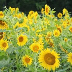 Sunflowers at the Farm Park Germantown, Tennessee