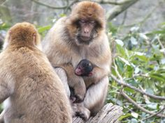 Monkey Forest. First baby of 2013. We saw her sat 20th april at 11 days old.