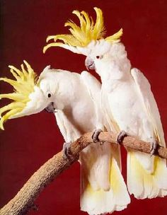 australian a white cockatoos   SULPHUR CRESTED COCKATOOS - Cockatoos Of Australia - Pet Birds, Exotic ...