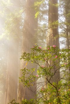 ~~Dancing Queen | rhododendron and redwoods, Crescent City, California | by Kristina Wilson~~