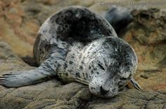 go sign the harbor seal pup petition, save these babies! Baby Animals, Cute Animals, The Great Mouse Detective, Cute Seals, Harbor Seal, Seal Pup, Underwater Sea, Fuzzy Wuzzy, Disney Images