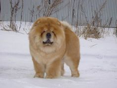 chow dog photo | chow on the snow - Sweet Chow-Chow Dogs Wallpaper
