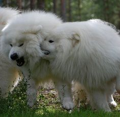 Samoyed playtime