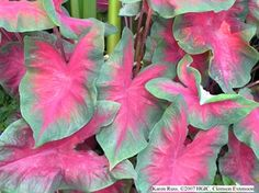 my go-to shade plant in the front: Freida Hemple Caladium (strong heart)...though considered an annual, they might make it through a mild winter heavily mulched...