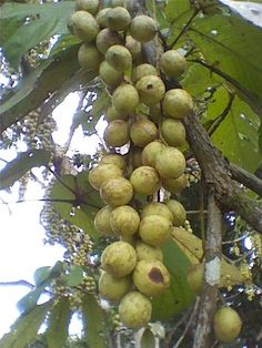 Rambai fruit tree, native to Southeast Asia with fruits hanging in long stack from the tree branches in bunches. The fruits are small and round and the flesh has an acidic to sweet taste.