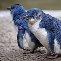 New Zealand town builds a 25 meter long underpass to save blue penguins. The Oamaru tunnel allows the endangered penguin species the smallest in the World to avoid a deadly road during their nightly trek home from the sea. Types Of Penguins, Penguin Facts, World's Smallest, Extinct Birds, Extinct Animals, Penguin Pictures, Funny Pictures, Penguin Species, Koalas