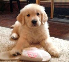 Tucker the Golden Retriever puppy