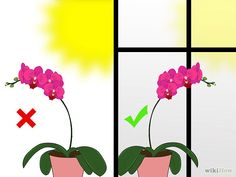 Care for Phalenopsis Orchids (Moth Orchids) Step 4.jpg