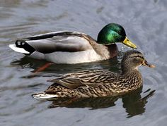 Mallard ducks are one of the most commonly seen ducks around. The males are notable for their bright green coloring on the neck, and females have a bright blue patch on the wing.