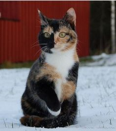 Male Calico Cats | Calico cats are a common sight in feral populations but why are they usually always female?