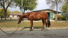 Femmina Quarter Horse Horses, Animals, Italia, Animales, Animaux, Animal, Animais, Horse