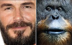 Men might be growing beards to appear more attractive to women and more   dominant to other men, a study on monkeys suggests