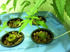 ... more 1 thc gimp how to grow hydro weed indoors another grow journal