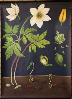 Vintage Pull down School Chart Anemone by Jung Koch Quentell