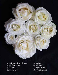 White Rose Varieties Mondial Avalanche Akito Polo Escimo Tibet Polar Star White Chocolate